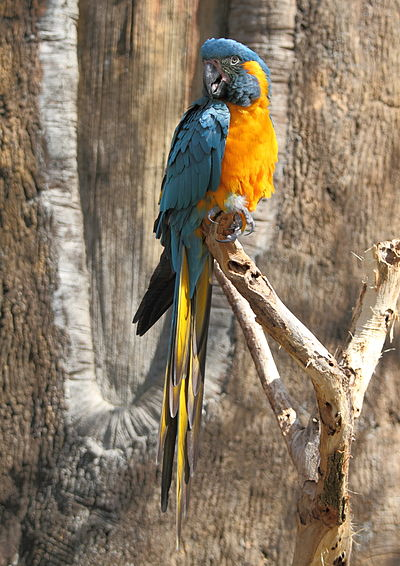 Blue-throated macaw, an endangered species AraGlaucogularisFull.jpg