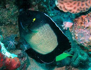 <i>Apolemichthys xanthotis</i>