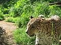 Arabian leopard in Tel-Aviv.jpg