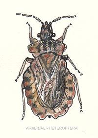 Aradidae-heteroptera.jpg