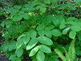 Aralia californica leaf.jpg