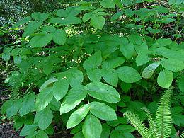 Aralia californica leaf