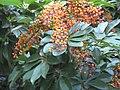 Araliaceae Umbrella tree IMG 9611 (4835184185).jpg