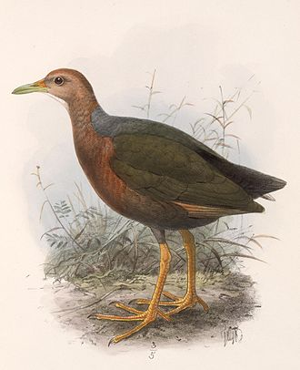 1863 in birding and ornithology -  the rufous-necked wood rail was described in 1863