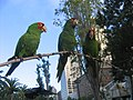 Aratinga erythrogenys -city -San Francisco-8j.jpg