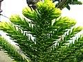 Araucaria laubenfelsii.JPG