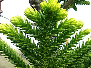 Description de l'image Araucaria laubenfelsii.JPG.