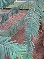 Araucaria luxurians 02 by Line1.JPG