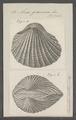 Arca granosa - - Print - Iconographia Zoologica - Special Collections University of Amsterdam - UBAINV0274 076 04 0021.tif