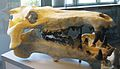 Archaeotherium mortoni 1.JPG