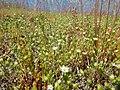 Arenaria serpyllifolia - thymeleaf sandwort - Flickr - Matt Lavin (3).jpg