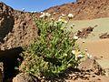 Argyranthemum tenerifae Tenerife 1.jpg