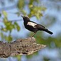 Arnot's chat, another lifer for me from the weekend in Zimbabwe (25081220808).jpg