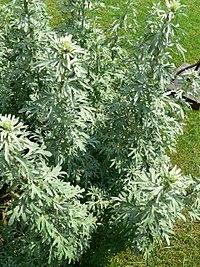 Artemisia absinthium growing wild in the Caucasus