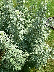 Artemisia absinthium growing wild in the Caucasus