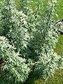 Artemisia absinthium P1210748.jpg