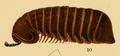 Arthrosphaera aurocincta.png