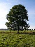 Ash Tree - geograph.org.uk - 590710.jpg