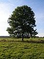 Ash Tree - geograph.org.uk - 590710.jpg