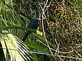 Asian Koel - Eudynamys scolopaceus - P1090245.jpg