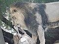Asiatic Lion 14.jpg