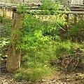Asparagus racemosus1.jpg