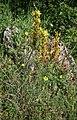 Asphodeline lutea 2.jpg