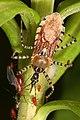 Assassin Bug - Pselliopus cinctus, Meadowood Farm SRMA, Mason Neck, Virginia - 14426138335.jpg