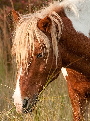 Assateague Island - Assateague stallion