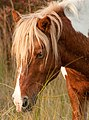 Assateague pony stallion by Bonnie Gruenberg4.jpg