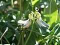 Astragalus alpinus (6120420103).jpg