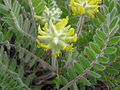 Astragalus dasyanthus inflorescence.jpg