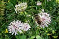 Astrantia and hoverfly (31939409866).jpg