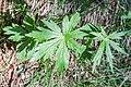 Astrantia major in Chablais (2).jpg