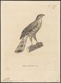 Astur trivirgatus - 1700-1880 - Print - Iconographia Zoologica - Special Collections University of Amsterdam - UBA01 IZ18300035.tif