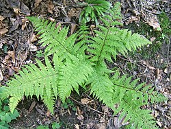 meaning of athyrium filix-femina
