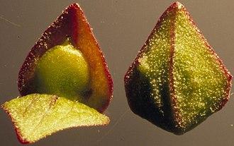 Atriplex - Atriplex patula, female flower with bracteoles and seed