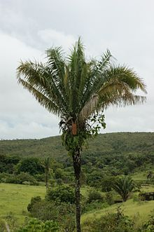 Tall, single-stemmed palm standing alone in a field of grass with scattered shrubs and palms. The low hills in the background are forested. The leaves are all angled above horizontal, and are shorter than the stem. A single brownish-yellow infructescence is visible just below the leaves. The lower half of the stem is bare, but the upper half has old leaf-based still attached. Ferns and a strangler fig grow on the upper part of the stem just below the leaves, rooted in the old leaf bases.