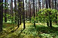 Aukštagirio miškas.JPG
