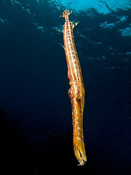 Aulostomus maculatus (Trumpetfish -brown variation).jpg