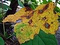 Autumnal leaf - geograph.org.uk - 952025.jpg