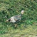 Ayam Kalkun 2.jpg