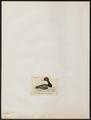 Aythya americana - 1820-1863 - Print - Iconographia Zoologica - Special Collections University of Amsterdam - UBA01 IZ17700027.tif