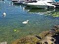 Baby swan @ Lake Annecy @ Port de Saint-Jorioz (50487977472).jpg