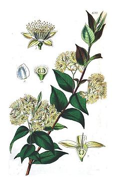 Backhousia myrtifolia.jpg