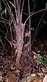Bactris humilis (Wallace) Burret (8385937454).jpg