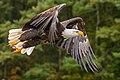Bald Eagle, Ontario forest.jpg