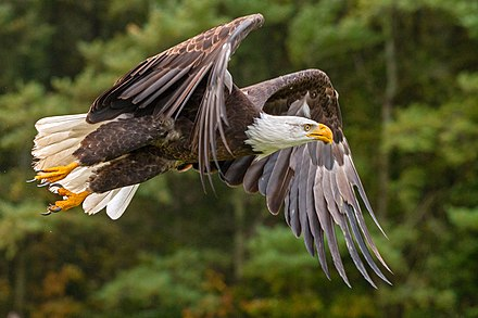 In flight during a licensed performance in Ontario, Canada Bald Eagle, Ontario forest.jpg