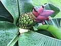 Bananenblüte - Burgenland.jpg