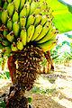 Bananplantage.JPG